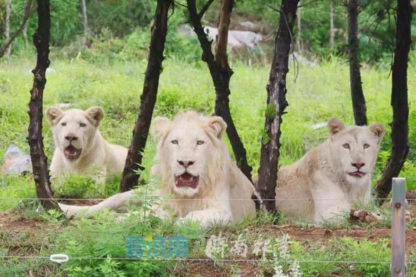 【实拍】济南双胞胎白狮 白狮是非洲狮的白化种十分稀有